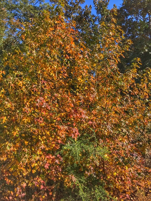 Fall color: Redish rust colored leaves