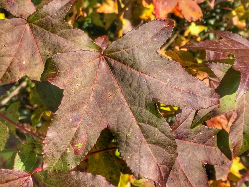 Fall color: Purplish leaves