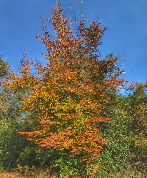 Fall color: Yellow leaves