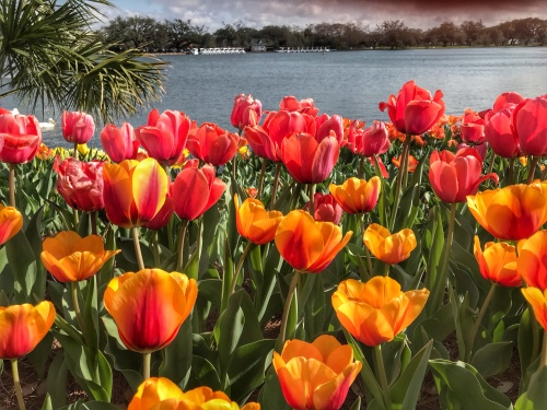 Tulips in City Park New Orleans
