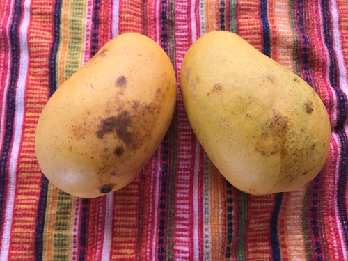 Two yellow mangos