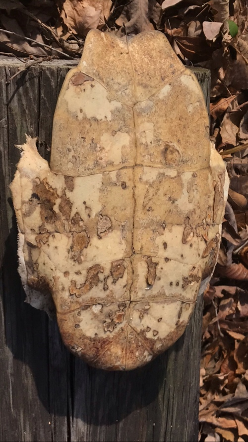 The bottom half of a large turtle shell.