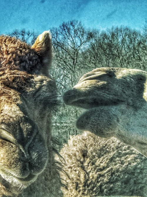A pair of camels
